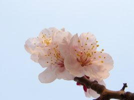 매화꽃과 매화타령