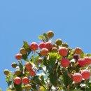 산딸나무 꽃,열매