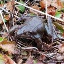 [만경강]북방산개구리(무미목 개구리과)