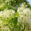 쌀밥같고 솜사탕같은 이팝나무꽃