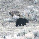 북극곰을 잡아먹은 북극늑대 및 회색늑대와 회색곰,흑곰의 관계