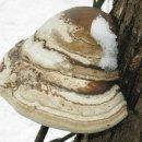 '백말굽버섯' 효능과 식용방법