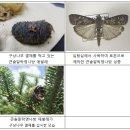 한라산 구상나무에서 미기록곤충 발견