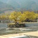 (구례산수유축제)산수유(山茱萸) 시목지(始木地)를 아시나요(180324)