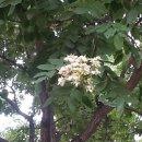 꽃이야기 - 회화나무