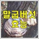 말굽버섯 효능