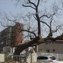안양 석수동 회화나무
