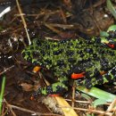 무당개구리(개구리목 무당개구리과)