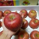 반딧불이 서식지에서 재배되는 껍질째 먹는 사과 미얀마부사 판매(흠과 판매)
