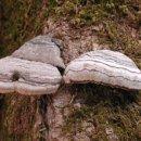말굽버섯 효능 및 부작용