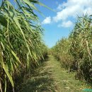푸른 갈대의 물결 신성리갈대밭