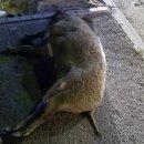 청주 도심에 멧돼지 6마리 출몰! 1마리 택시와 충돌