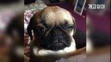 넘나 졸린 퍼그 댕댕이 Too sleepy pug dog