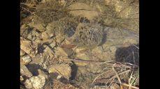 산개구리-양서류 무미목(無尾目) 개구리과 몸길이 4.5∼7.5㎝이다. 몸과 머리는 비교적 너비가 넓고, 머리의 길이는 짧은 편이며, 주둥이 끝이 둔하다