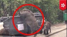 홍콩에서 쓰레기통 뒤지는 거대'돼질라'발견