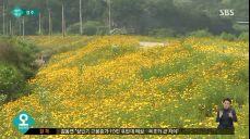 [청주] 폭염 속에서도 꽃망울 터뜨린 금계국..노란 물결